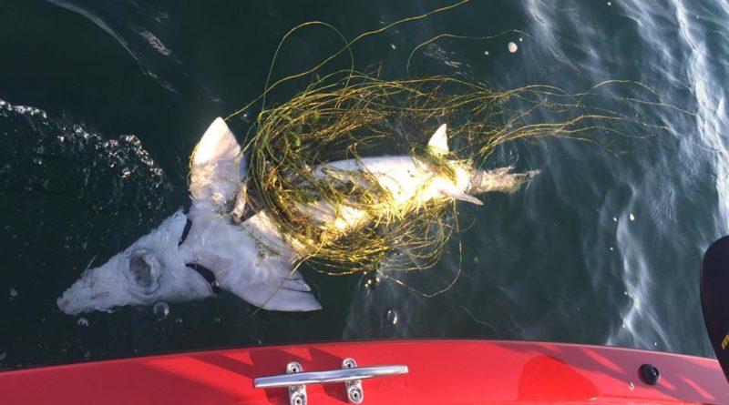 Disturbing River Findings, Akwesasronon Discovers Slaughtered Sturgeon